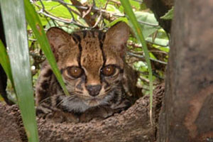 Wild cats are endangered in nicoya s coastal areas